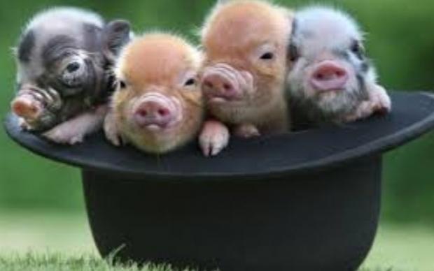 Porcul naţional, înainte de Brexit